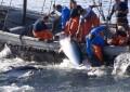 Gibraltar anuncia el comienzo de la temporada de pesca del Atún Rojo a partir del domingo 16 de junio de 2019