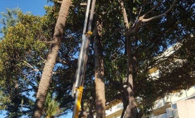 Medio Ambiente, Parques y jardines ordenan el estudio de árboles significativos para determinar su estado de salud