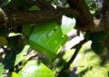 Parques y Jardines realiza un control biológico de plagas utilizando organismos vivos y respetuosos con el medioambiente