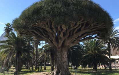 El drago centenario, en perfectas condiciones  cinco años después de ser trasplantado al parque Princesa Sofía