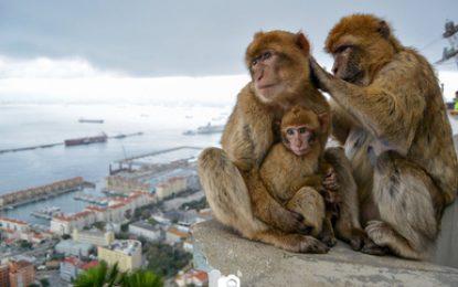 Se prohibirá tocar a los macacos de Gibraltar para salvaguardar la seguridad tanto de las personas como de los animales