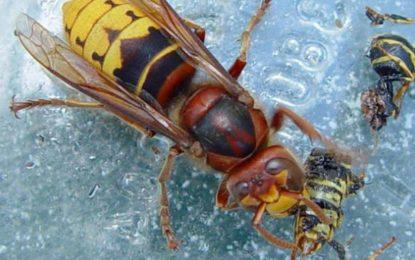 La delegación de Salud ofrece consejos para prevenir o tratar la picadura de avispas asiáticas