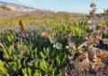 Verdemar Ecologistas en Acción pide la retirada de la Uña de León en San Roque y La Línea