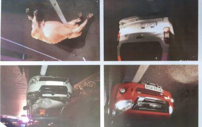 El Ayuntamiento inicia una investigación para conocer al propietario de la vaca suelta fallecida por colisión contra un vehículo en la carretera del Higuerón