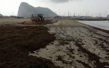 Playas acomete la limpieza de la playa de Poniente ante una nueva invasión del alga asiática a consecuencia del temporal