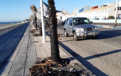 Parques y Jardines repondrá las palmeras calcinadas en el paseo marítimo de Levante
